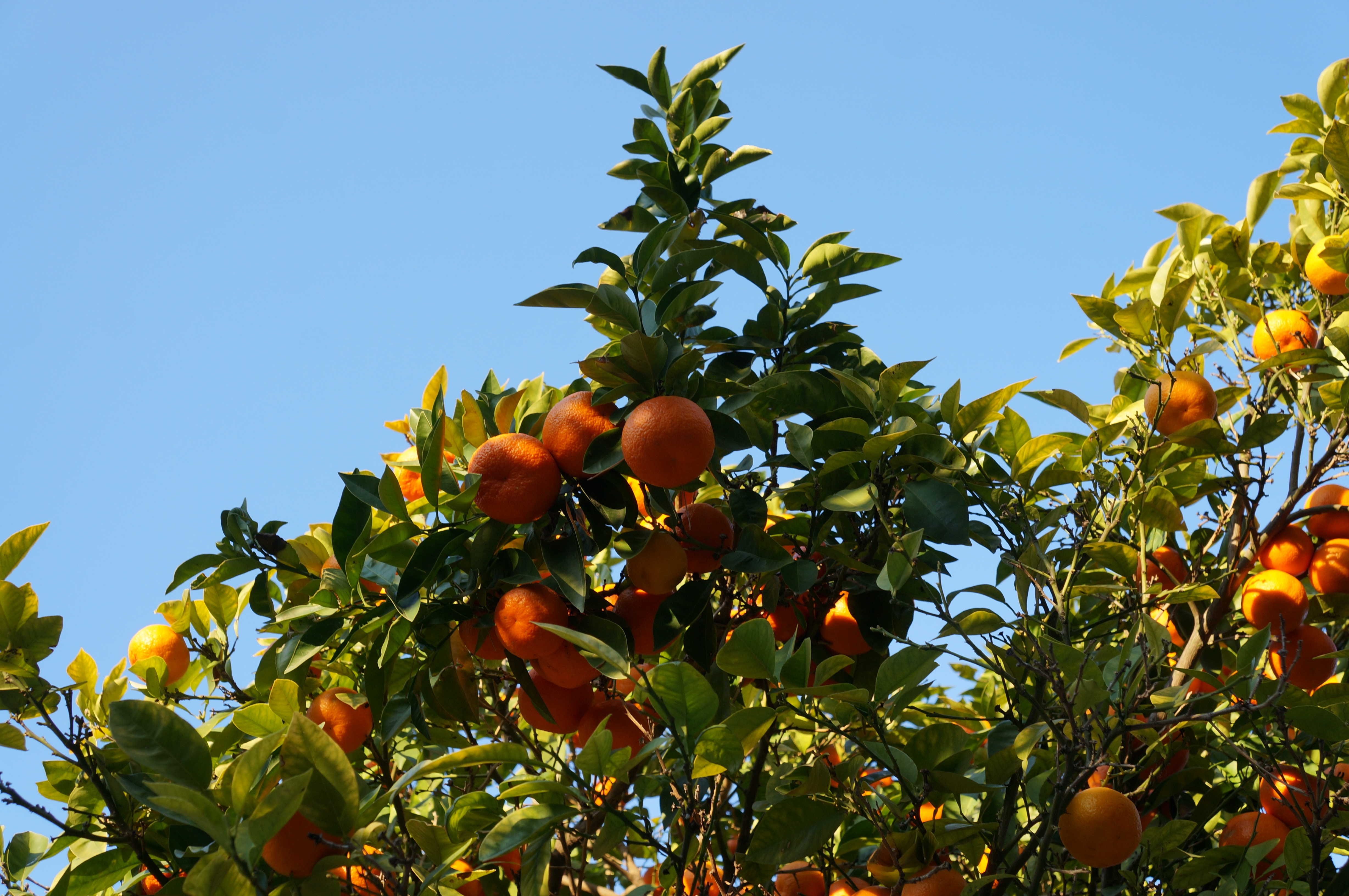 Oranges in the summer